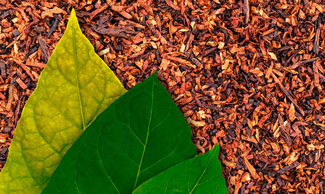 Grüne Blätter auf Tabak